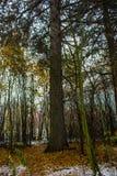 Schöner großer Baum im Herbstwald mit Schnee Hintergrund Lizenzfreie Stockfotos