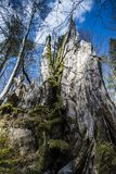 Schöner großer Baumstumpf an einem sonnigen Tag Lizenzfreie Stockfotos