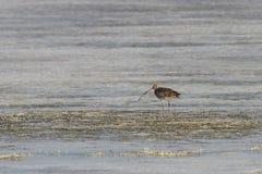 Schöner großer Brachvogel, der Lebensmittel im Meeresboden sucht Stockfotos