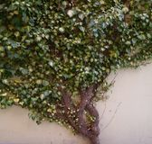 Schöner großer grüner Efeu Lizenzfreies Stockbild