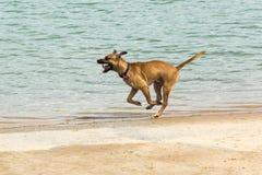 Schöner großer Hund, der entlang eine Küstenlinie läuft Lizenzfreie Stockfotos