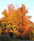Schöner großer Ole Autumn Trees stockfoto