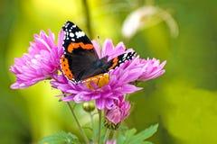 Schöner großer Schmetterling Admiral auf lila Blumen der Chrysantheme Stockfotos