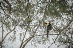 Schöner großer Vogel Hornbill auf einem Baum in Kaziranga, Indien Lizenzfreie Stockbilder