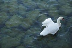 Schöner Höckerschwan auf dem blauen Fluss lizenzfreies stockfoto