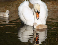 Schöner Höckerschwan betrachtet an liebevoll ihrem kleinen Cygnet Sein 3 eines-Tag-alt Geschwisterschwimmen schließt vorbei Lizenzfreies Stockfoto