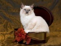 Schöner hübscher Ragdoll Kätzchen-Bronzenhintergrund Stockfotos