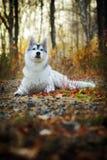 Schöner heiserer Hund draußen Lizenzfreies Stockbild
