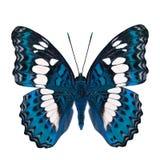 Schöner heller blauer Schmetterling, gemeiner Kommandant (moduza procris) unter den Flügelanteilen an fantastischem Farbprofil lo lizenzfreie stockfotografie