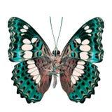 Schöner hellgrüner Schmetterling, gemeiner Kommandant (moduza procris) unter den Flügeln im fancyl Farbprofil lokalisiert auf Wei stockbild