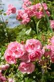 Schöner hellrosa Rosengarten Lizenzfreie Stockfotografie
