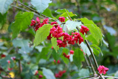 Schöner Herbsthintergrund ist mit dem Zweig des Spindelbaums Lizenzfreie Stockfotos