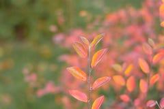 Schöner Herbstlaub auf einer Niederlassung des Hartriegelbusches im Garten mit buntem Hintergrund stockfotografie