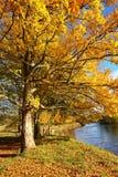 Schöner herbstlicher Kastaniebaum Lizenzfreies Stockfoto