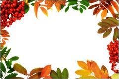 Schöner Herbstrahmen gemacht von den bunten Blättern und von den Ebereschenbeeren Stockfotografie