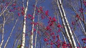 Schöner Herbstwald und rote europäische Spindelbeere stock video footage