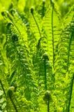Schöner Hintergrund der grünen Farnblätter Lizenzfreies Stockbild