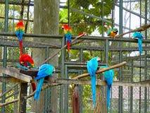 Schöner Hintergrund des Scharlachrots und der blauen Goldkeilschwanzsittiche im Zoo lizenzfreies stockfoto