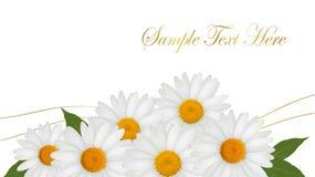 Schöner Hintergrund des weißen Gänseblümchens. Stockbilder