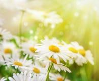 Schöner Hintergrund Kamillenblumen werden durch die Sonne beleuchtet Lizenzfreie Stockbilder