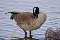 Schöner Hintergrund mit einer netten Kanada-Gans auf dem Ufer Lizenzfreie Stockfotos