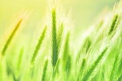 Schöner Hintergrund von den Feldanlagen verwischt Ährchen auf einem grünen Hintergrund Blaues Meer, Himmel u stockfoto