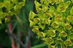 Schöner Hintergrund von kleinen grün-gelben Blumen schließen oben lizenzfreie abbildung