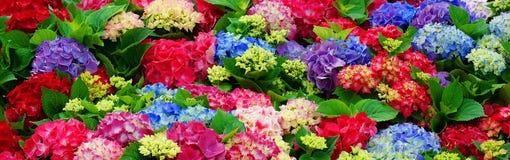 Schöner Hintergrund von mehrfarbigen Hortensien lizenzfreies stockfoto