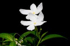 Schöner Hintergrund von weißen Blumen mit Stockbild