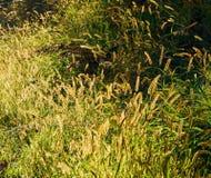 Schöner hintergrundbeleuchteter goldener Samen geht unter dem grünen Gras voran stockfotos