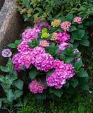 Schöner Hortensiebusch mit verschiedener Vielzahl und Farben des Rosas und einzelne rosa Mohnblume im Garten stockfoto