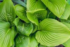 Schöner Hosta verlässt Hintergrund Hosta - eine Zierpflanze für die Landschaftsgestaltung des Park- und Gartendesigns Stockfotografie