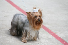 Schöner Hund auf einer Leine Lizenzfreies Stockfoto