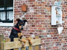 Schöner Hund, der über dem Gartenzaun schaut Stockfotografie