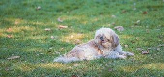 Schöner Hund, der auf dem grünen Gras liegt stockbild