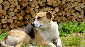 Schöner Hund, der auf einem Gras über Feuerholz liegt. Stockfotografie