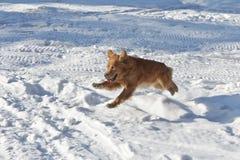 Schöner Hund des goldenen Apportierhunds im Sprung über Schnee Stockfotografie