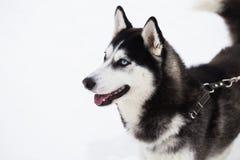 Schöner Hund des sibirischen Huskys im Winterwald Lizenzfreies Stockbild