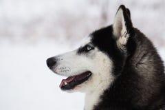 Schöner Hund des sibirischen Huskys im Winterwald Stockfoto