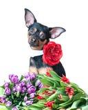 Schöner Hund mit den Blumen, lokalisiert auf Weiß Hund und Tulpen P Lizenzfreie Stockfotos