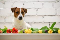Schöner Hund mit Tulpen Stockbilder