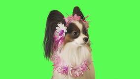 Schöner Hund Papillon in der Girlande von Blumen betrachtet bedacht der Kamera auf Gesamtlängenvideo des grünen Hintergrundes auf stock video footage