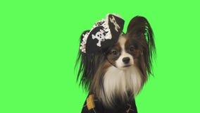 Schöner Hund Papillon im Piratenkostüm betrachtet Kamera auf Gesamtlängenvideo des grünen Hintergrundes auf Lager stock video