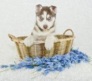 Schöner Husky Puppy Stockfotos