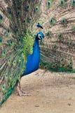 Schöner indischer blauer Pfaumann, der helle bunte Federn zeigt Lizenzfreies Stockbild