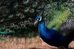 Schöner indischer Peafowl - Pavo cristatus - männlicher Vogel lizenzfreie stockfotografie