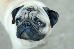 Schöner inländischer neugieriger Hund Stockbilder