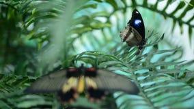 Schöner Insektenschmetterling auf Blättern stock footage