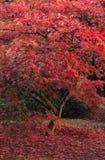Schöner japanischer Ahorn Acerbaum in der vollen Herbstfarbe Stockfoto