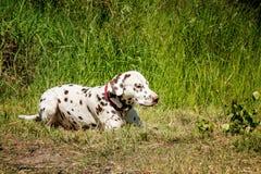 Schöner junger Dalmatiner, der auf dem Gras im Sommer an einem sonnigen Tag liegt lizenzfreie stockfotografie